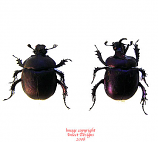 Enoplotrupes sharpi (Thailand) - pair