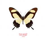 Papilio garleppi interruptus (Peru) A-