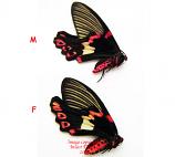 Epicopeia polydora (Thailand) A1 and A-