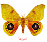 Automeris tridens (Costa Rica) A2
