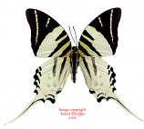 Graphium androcles androcles (Sulawesi)