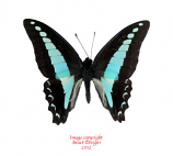 Graphium milon anthedon (Indonesia)