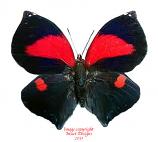 Siderone syntyche polymela (Costa Rica)