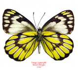 Delias ganymedes halconensis (Philippines)