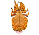 Phyllium pulchrifolium orange/yellow (Java)