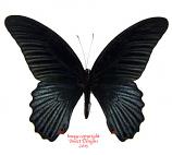 Papilio memnon (Malaysia)