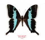 Papilio mangoura (Madagascar)