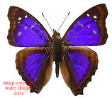 Doxocopa agathina (Peru)