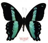 Papilio bromius (Tanzania) A-