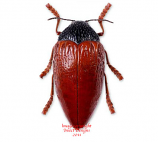 Sternocera hildebrandti (Tanzania)