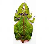 Phyllium pulchrifolium green (Java)