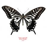 Papilio xuthus (Korea)