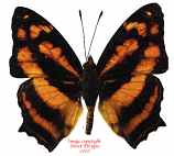 Symbrenthia hippoclus (Philippines) A1-
