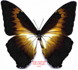 Morpho cisseis phanodemus gahua brown (Peru) A1 and A-
