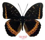Lexias panopus boholensis (Philippines)