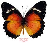 Cethoisia hypsea luzonica (Philippines)