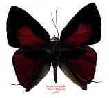 Deudorix epijarbas epijarbas (Philippines)