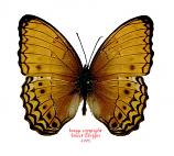 Cirrochroa tyche laudabilis (Philippines) A-