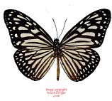 Ideopsis vulgaris palawana (Philippines) A-