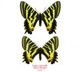 Luehdorfia puziloi coreanus (Korea) A1 and A-