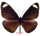 Euploea swainson (Philippines)