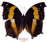 Yoma sabina vasuki (Thailand) A-