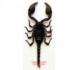Scorpion sp. (Java) A2