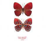 Paralaxita damajanti (Sumatra)