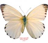 Appias sabina (RCA)