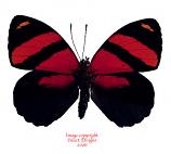Callicore cynosura (Peru)