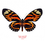 Papilio zagreus batesi (Peru)