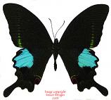 Papilio paris (Thailand) A2