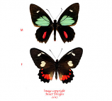 Parides childrenae (Costa Rica) A1 and A-