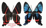 Ancyluris meliboeus (Peru) A-