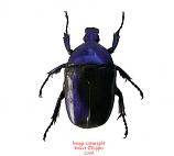 Torynorrhina flammea - violet (Thailand)