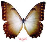 Morpho theseus theseus f. cretacea (Colombia)