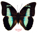 Prepona demophon (Colombia) - female A-
