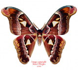 Attacus doherty (Timor)