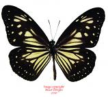 Parantica menandensis (Peleng)