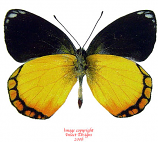Delias rothschildi (Buru)