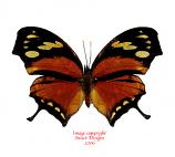 Anaea fabius (Peru)