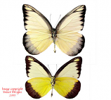 Appias lyncida andrea (Philippines)
