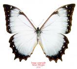 Morpho theseus juturna (Peru)