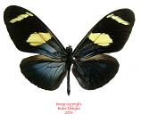 Heliconius wallacei (Peru)