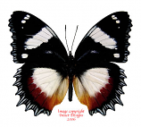 Hypolimnas dexithea (Madagascar) A2