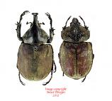Spodistes monzoni (Mexico)
