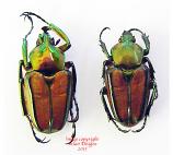 Phaedimus howdeni (Philippines)