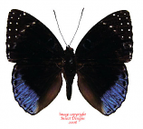 Stibochiona coresia (Sumatra)