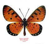 Acraea violae (Thailand)