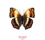 Cymothoe theobene (RCA)